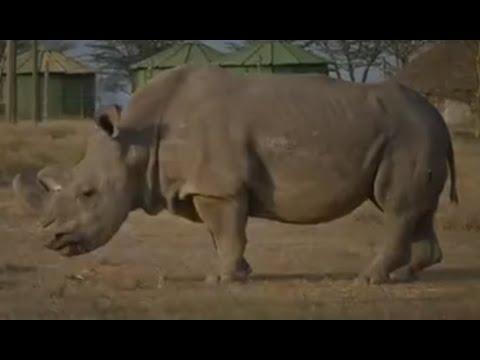 آخر ذكر من وحيد القرن الأبيض في العالم ينفق في كينيا