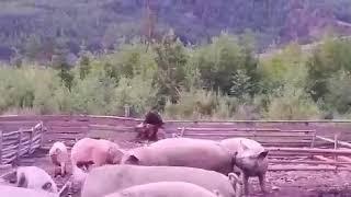 Нападение медведя на свинью // Охота бурого медведя // Магадан 2018