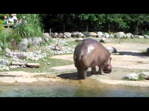 World's Biggest Fart  | Hippo butt explosion
