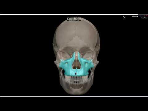 Anatomía: Huesos de la cara - YouTube