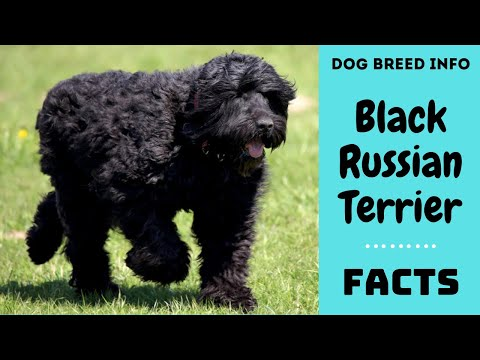 Black Russian Terrier dog breed. All breed characteristics and facts about Black Russian Terrier