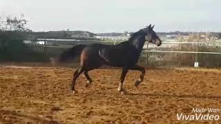 Лошадь 170 см в холке
