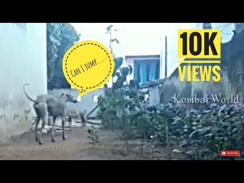 Kanni(chippiparai) dog jumping over a huge wall | Tamilnadu native dog breeds