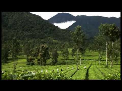 A Cup of Indonesia: The Finest Tea In The World
