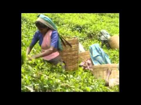 Иван Чай - полезные свойства травы с фото, когда собирать