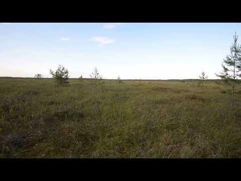 крики журавлей на болоте