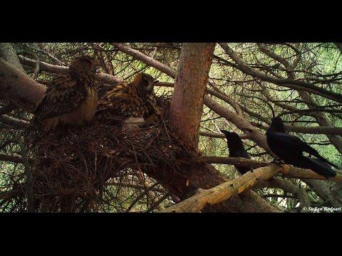 Buha - Bubo bubo - Búho real - Eurasian eagle-owl