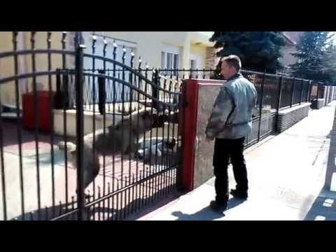 11 hónapos közép-ázsiai juhász Central-Asian Shepherd dog