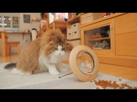 餌台をひっくり返してブラッシングを要求する猫