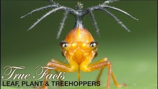True Facts: Leafhoppers and Friends