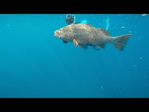 Spearfishing Central American Cubera Snapper