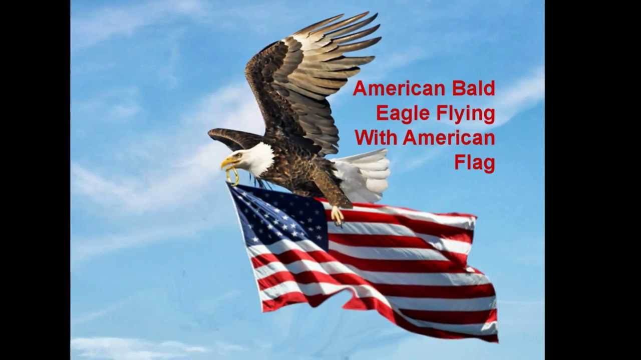 american bald eagle essay The bald eagle is a large fierce looking bird it's name in latin means the sea eagle with a white head.