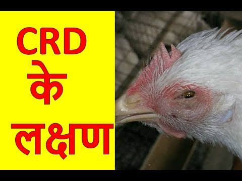 🐓🐔 CRD के लक्षण  || CRD  Symptoms || Mycoplasma Gallisepticum ||  Poultry India TV™ ||