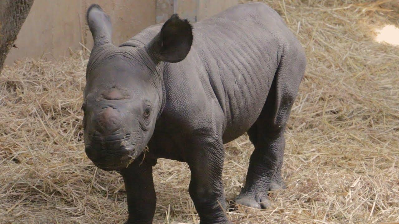Rhino Calf Born at Blank Park Zoo