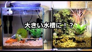 大きくなった金魚と安否不明のカニ thumbnail