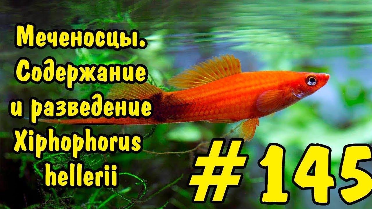 #145 МЕЧЕНОСЦЫ. СОДЕРЖАНИЕ И РАЗВЕДЕНИЕ. Xiphophorus hellerii