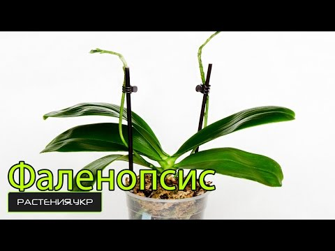 Фаленопсис уход в домашних условиях / уход за орхидеей после цветения / как ухаживать за орхидеей?