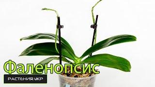 Фаленопсис уход в домашних условиях / уход за орхидеей после цветения / как ухаживать за орхидеей?(Фаленопсис (лат. Phalaenopsis) — род эпифитных (иногда литофитных) травянистых растений семейства Орхидные из..., 2015-03-28T07:00:00.000Z)