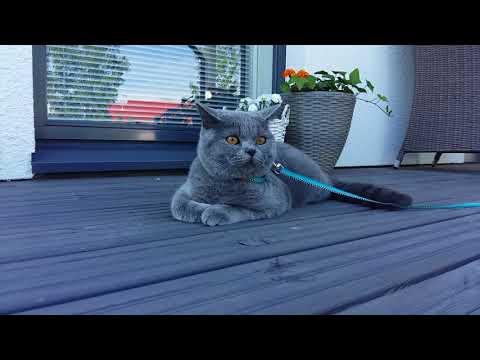 British Shorthair Cat - Monni