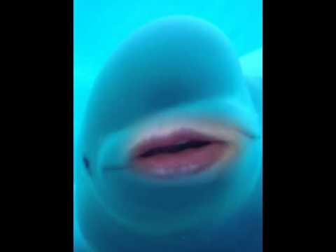 Baby beluga song