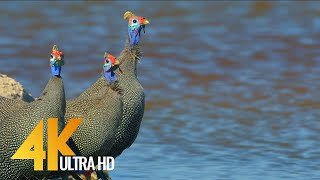 4K Amazing African Birds - African Wildlife Video with Birds Sounds - 2 HRS