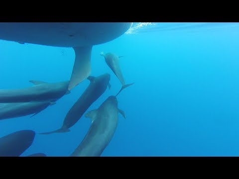 Pilot whales vs small sailing boat - The Sailing Frenchman
