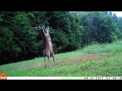 Wildlife trail cameras capture epic fight between two bucks in Tennessee