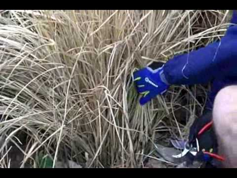 When To Cut Ornamental Grasses Winter pruning ornamental grasses youtube workwithnaturefo