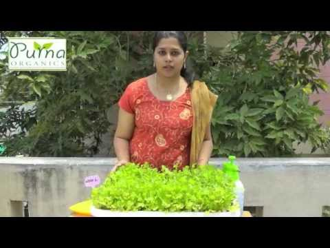 How to grow coriander in your terrace garden youtube for Terrace krishi