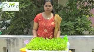 How to Grow Coriander in your terrace garden