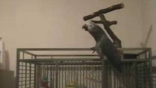 Talking African Grey Parrot: An intelligent conversation with Tui, See how smart Parrots are
