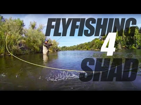 American River Fly Fishing For Shad