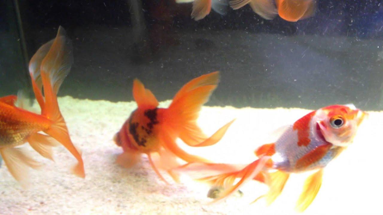 Pesci rossi cresciuti con mamma ex black moore 31 12 for Vaschetta pesci rossi offerte