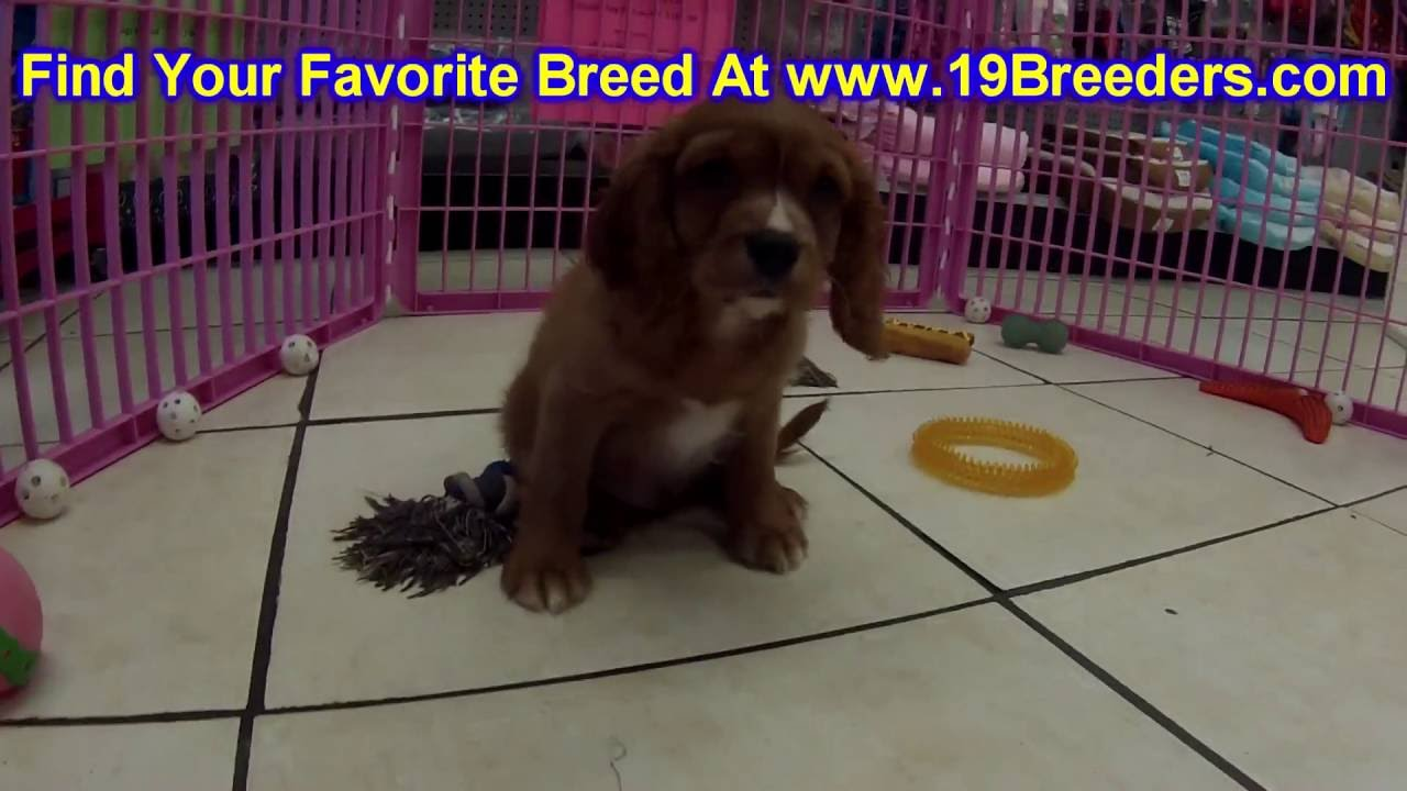 Cavalier King Charles Spaniel, Puppies, Dogs, For Sale, In ...