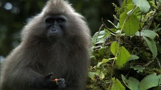 The Mysterious Kipunji Monkey - The Great Rift: Africa's Wild Heart - BBC