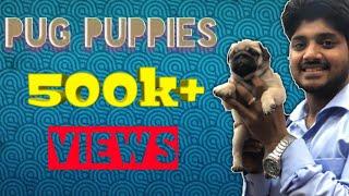 Pug puppies on sale Cl 9140752208