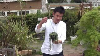 多肉植物 花芽の上がったグリーンネックレスの紹介・育て方
