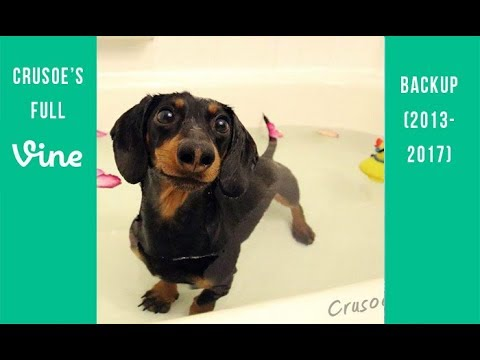 Crusoe the Dachshund Full Vine Backup (2013 – 2017)