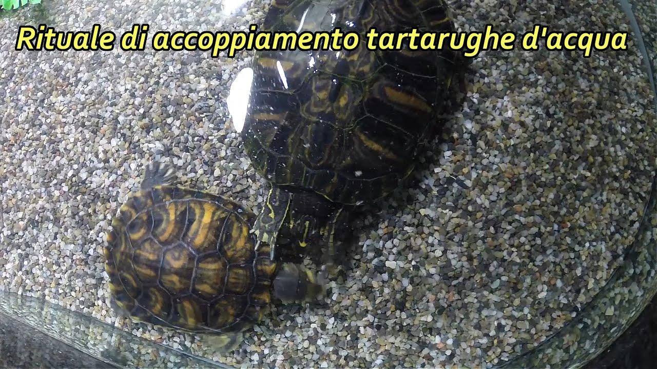 Rituale di accoppiamento tartarughe d 39 acqua youtube for Acqua tartarughe