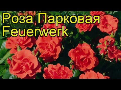 Роза парковая Фейерверк. Краткий обзор, описание характеристик, где купить саженцы Feuerwerk