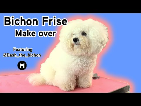 Bichon Frise grooming make over
