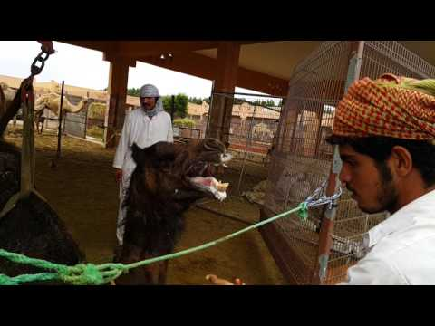 Moving An Angry Male Camel With Crane At Camel Market In Al Ain UAE 21.03.2017