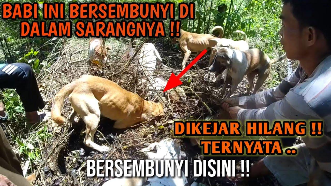 Terkecoh !! Babi Hutan Cerdik Bersembunyi Masuk Sarangnya // Porbi Sumbar Kejar ekor Babi