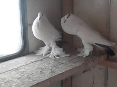 Голуби якубіни ціна фото фото 164-860