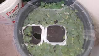 Como criar alevinos de peixe beta sem utilização de artemia
