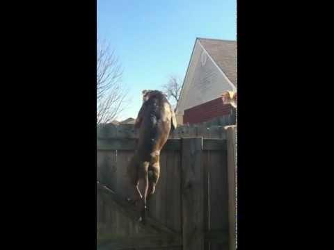 Ninja Pit bull chases cat.