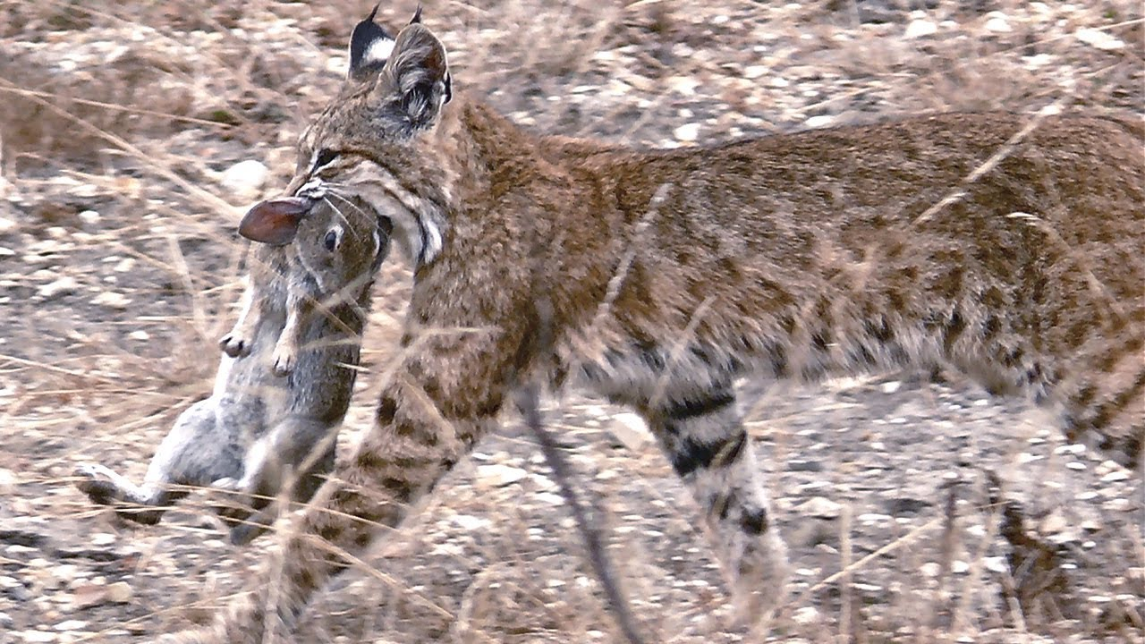 Рыжая рысь – универсальный охотник и эксперт по выживанию! Гроза мышей, кроликов и оленей!