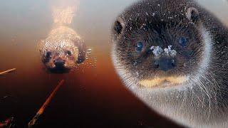 Жизнь выдры под водой | Film Studio Aves