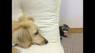 犬を使って柵を乗り越えるフェレットや、犬とかくれんぼするフェレット...