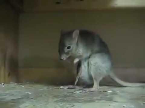 New Hybrid Rat Half Kangaroot